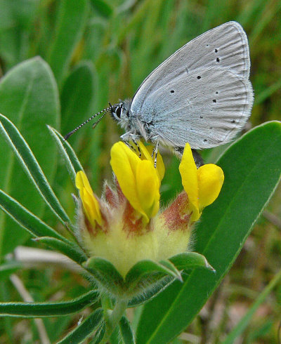 Small Blue butterfly on Kidney Vetch (by Tim Melling): The Small Blue is the UK's smallest resident butterfly. Dwindling numbers have prompted the establishment of inter-linking Kidney Vetch environments along the Ayrshire coast, with Germinal kindly donating seed for the initial release site